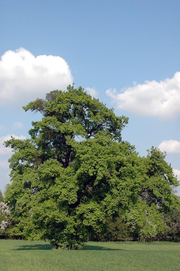 Grüner Baum stockfoto
