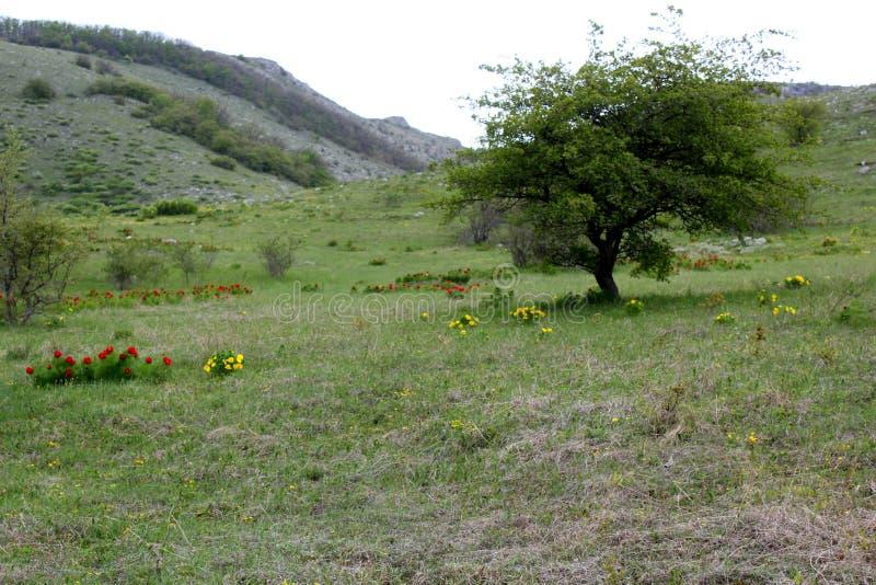 Grüner Baum auf einem Hügel im Frühjahr, eine Lichtung mit hellen Farben, eine Landschaft von Krim stockfoto