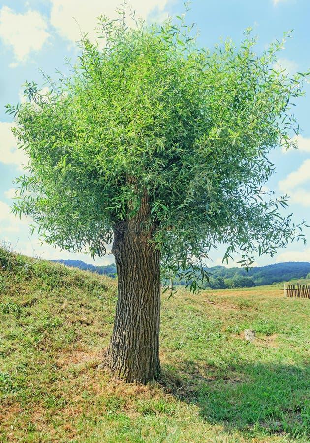 Grüner Baum der Weide, gelbliche, Weidenform die Klasse Salix, Porträt lizenzfreies stockbild