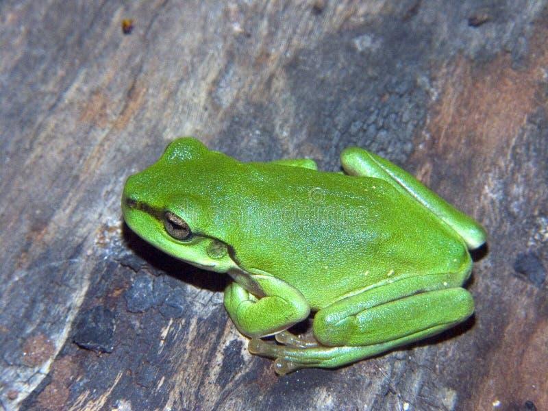 Download Grüner Baum-Frosch stockbild. Bild von grün, fahrwerkbeine - 41657