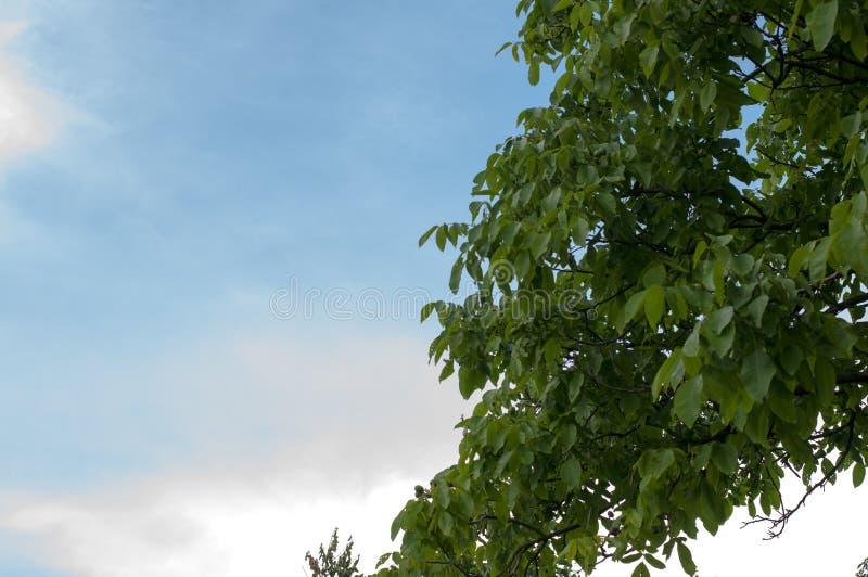 Grüner Baum mit schönem blauem Himmel in der Natur lizenzfreie stockfotografie