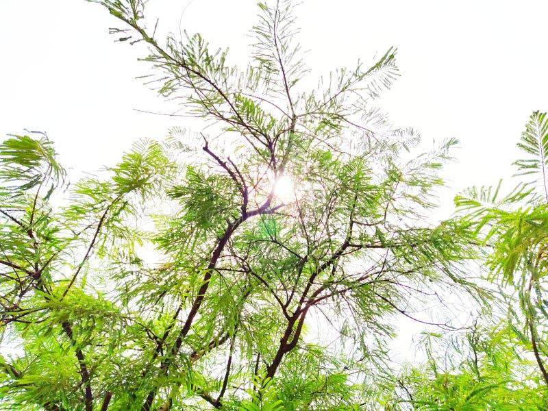 Grüner Baum mit Sonnenlichtstrahlen durch Baum des Waldes stockfotos