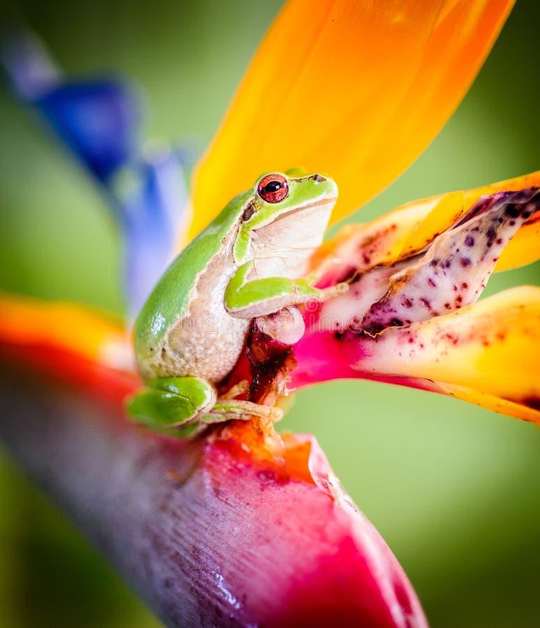 Grüner Baumfrosch auf Paradiesvogel Blume 4 stockbilder