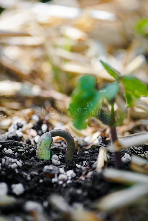 Grüner Bean Sprouting Growth stockbilder
