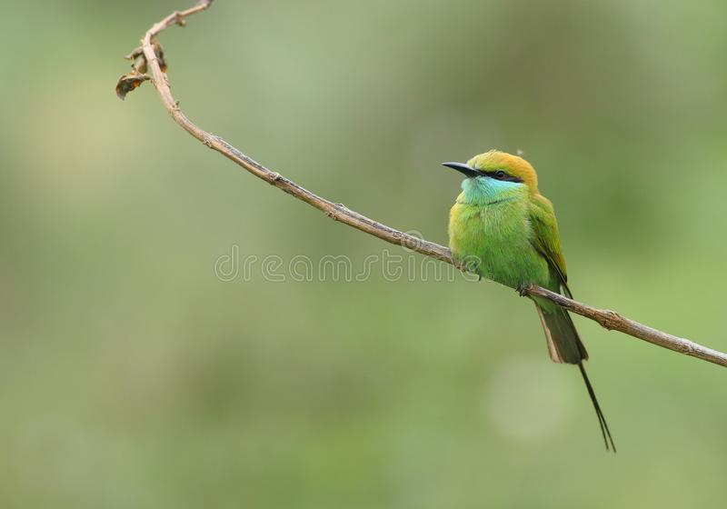 Grüner Bee-eater lizenzfreie stockfotos