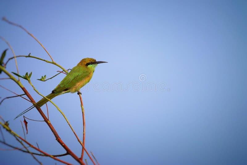Grüner Bee-eater stockfotos