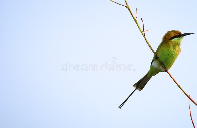 Grüner Bee-eater lizenzfreie stockfotografie