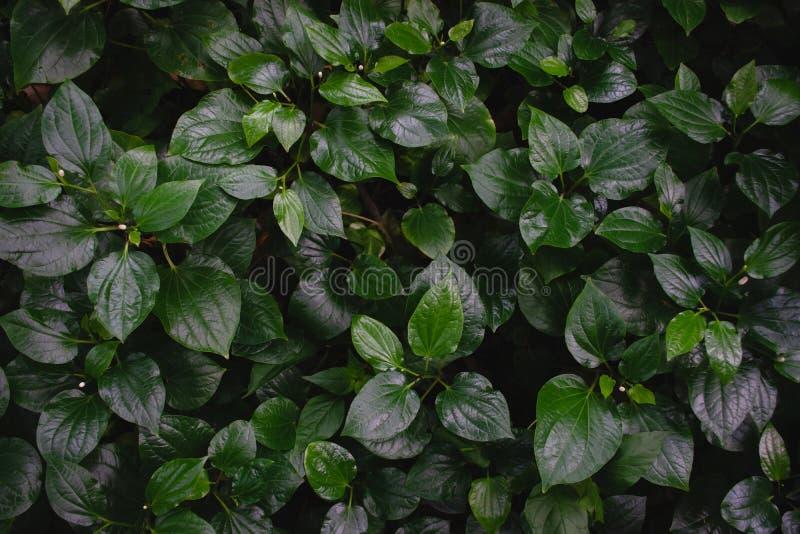 Grüner Betel oder Piper sarmentum hinterlässt Textur-Hintergrund Voller Rahmen des tropisch-dunkelgrünen Blatttonus stockfotografie