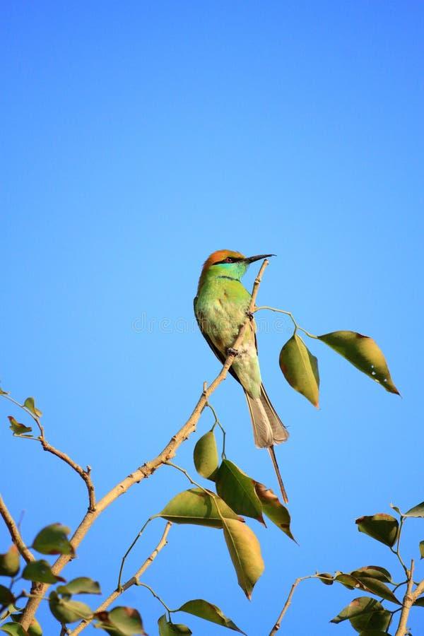 Grüner Bienen-Esser-Vogel mit blauem Himmel in Neu-Delhi, Indien lizenzfreie stockfotografie