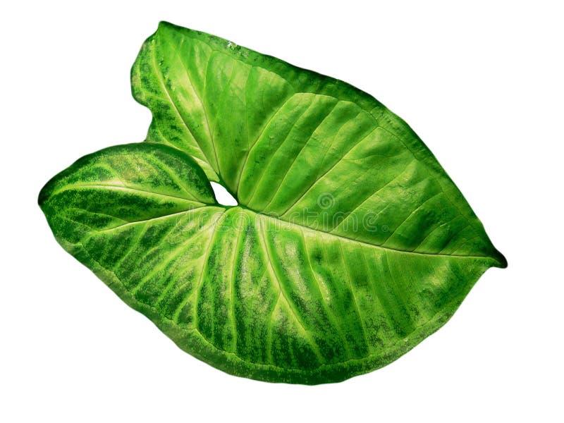 Grüner Blatt Syngonium getrennt lizenzfreies stockfoto