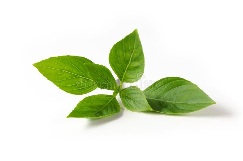 grüner Blattbasilikum auf Weiß stockfoto