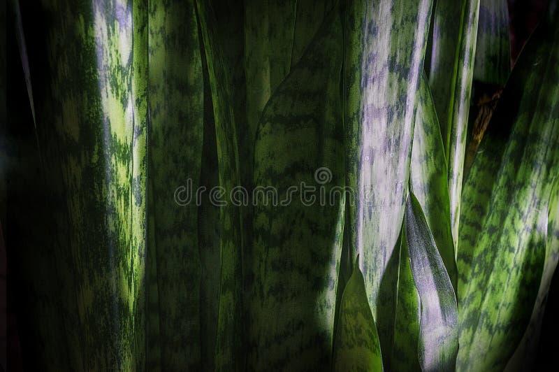 Grüner Blatthintergrund des Sansevieria lizenzfreie stockfotografie