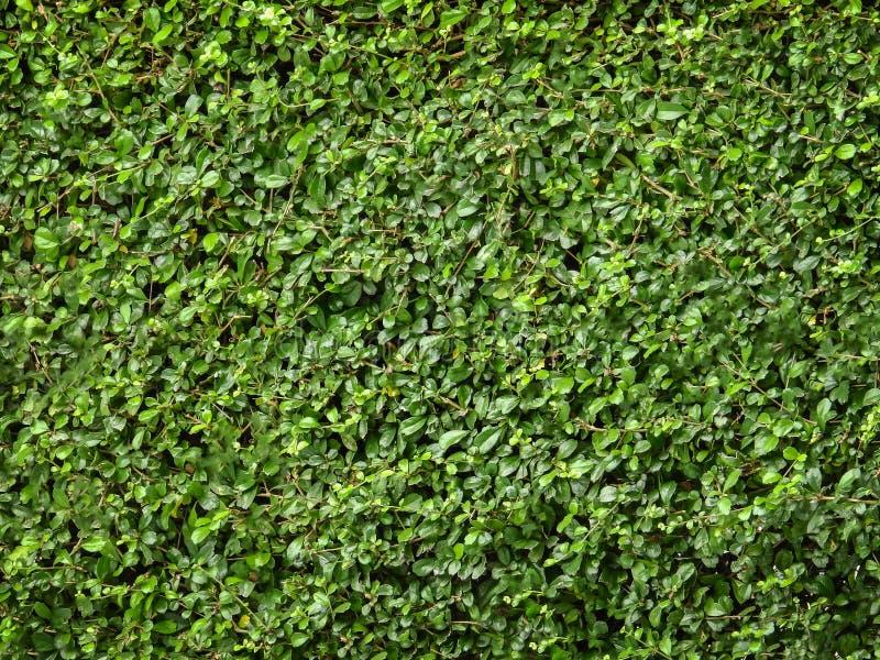Grüner Blatthintergrund des Teebaums lizenzfreie stockbilder