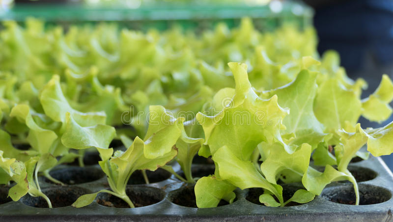 grüner Blattkopfsalatsämling im Gemüseplan stockfotos