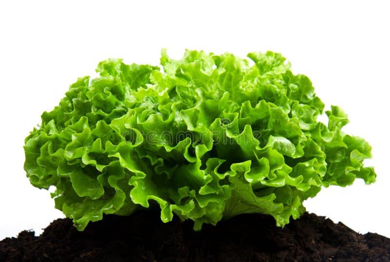 Grüner Busch des Salats auf Bodenhumusbett stockbilder