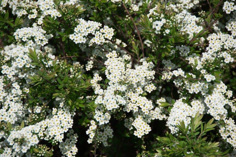Grüner Busch mit weißen Blumen an einem Frühlingstag stockbild