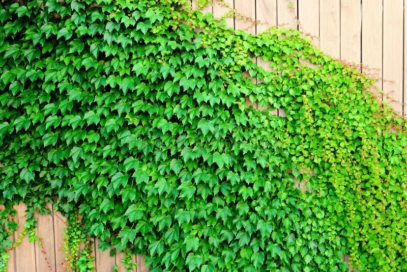 Grüner Efeu auf hölzernem Zaun lizenzfreie stockbilder