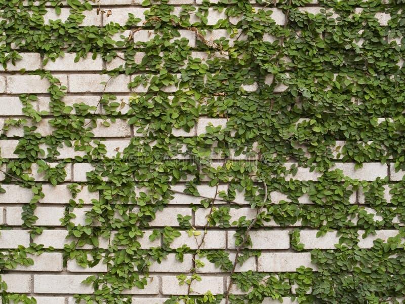 Efeu Auf Dem Weißen Wand-Beschaffenheits-Hintergrund