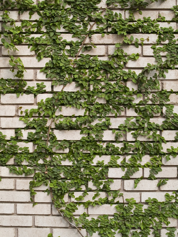 Grüner Efeu auf Wand lizenzfreie stockfotos
