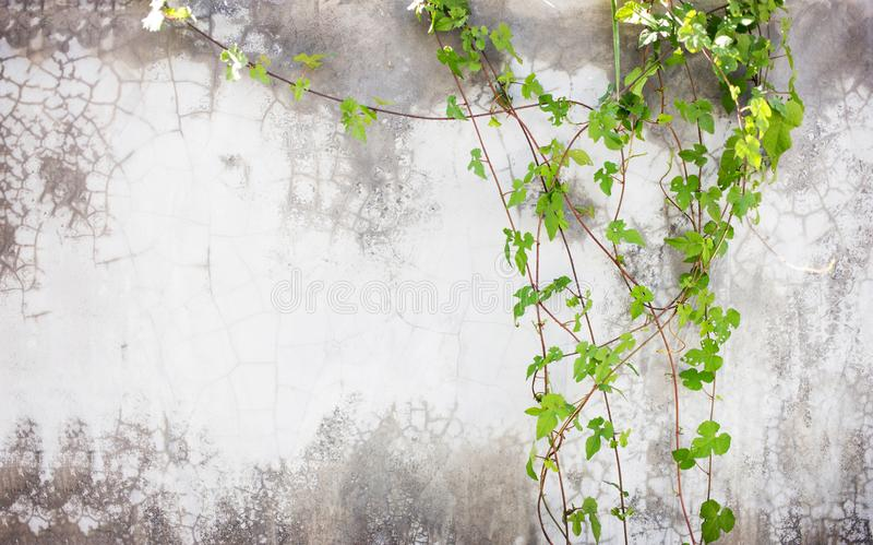 Grüner Efeu auf Zementwand lizenzfreies stockfoto