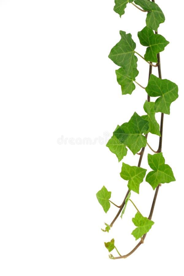 Grüner Efeu getrennt auf Weiß lizenzfreie stockfotografie