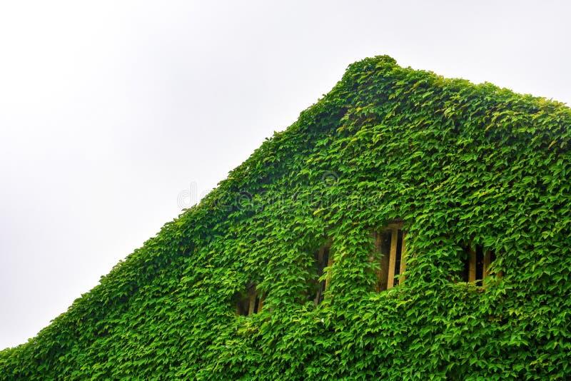 Grüner Efeu, natürliches grünes Blatt bedeckte Dach und Wand mit hölzernem Fenster, bewölkter Himmelhintergrund, Kopienraum stockfotos
