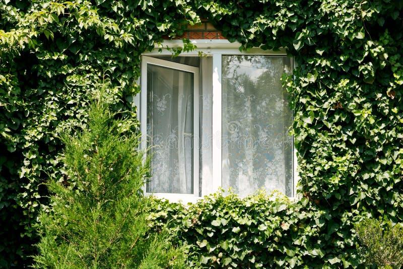Grüner Efeu um neues offenes Fenster stockfotos