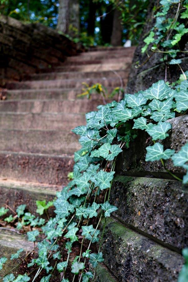 Grüner Efeu und Moos wächst auf der Steinwand und der hölzernen Treppe lizenzfreies stockfoto