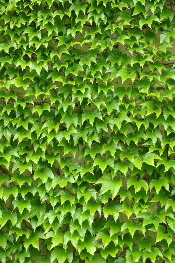 Grüner Efeu verlässt Wand lizenzfreie stockfotografie