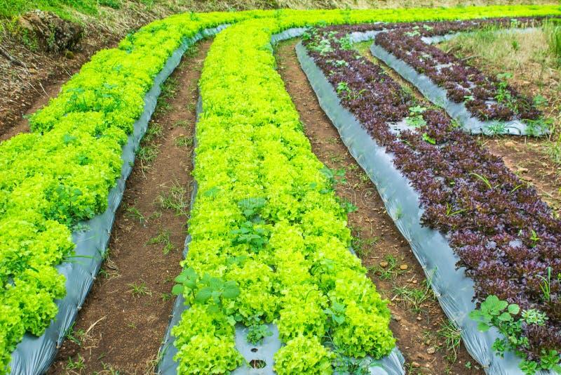 Grüner Eichen-Kopfsalat stockfoto