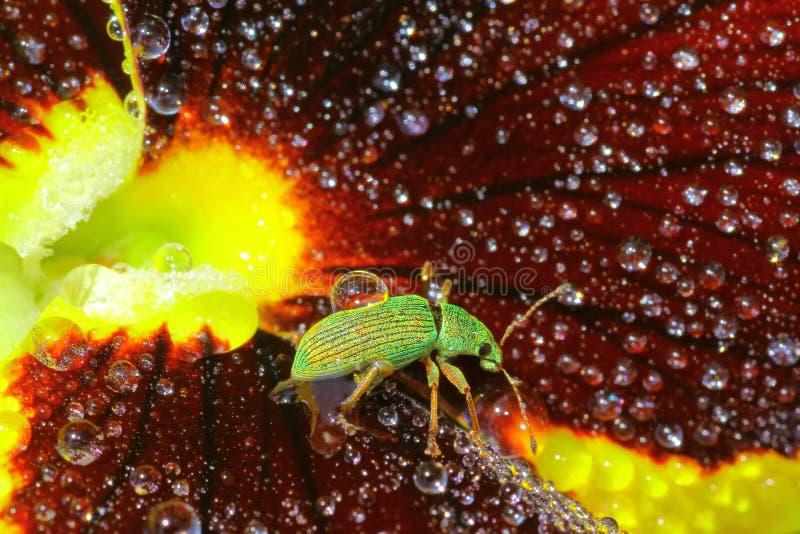 Grüner einwandernder Rüsselkäfer stockfotografie