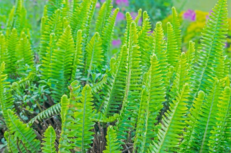 Grüner Farn lizenzfreies stockbild