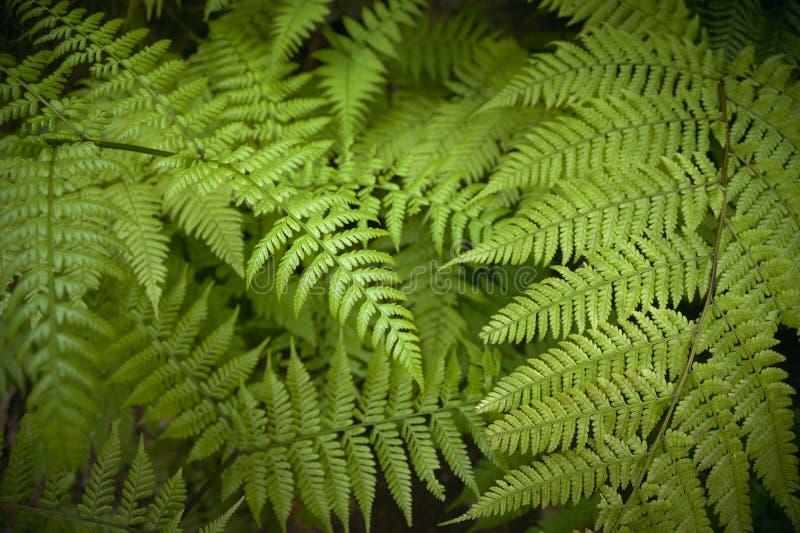 Grüner Farn lässt Detail im Wald Spanien stockbilder
