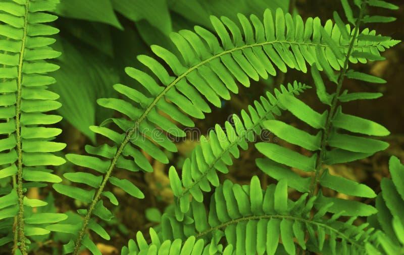 Grüner Farn-Urlaub lizenzfreie stockfotos