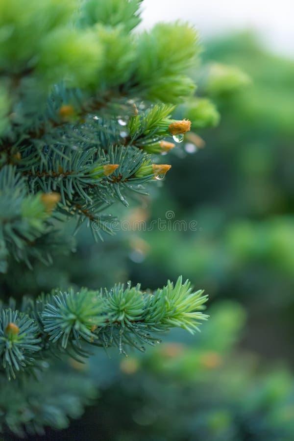 Grüner Fichtenzweig setzen im Frühjahr im Garten Zeit fest Natur unscharfer schöner Hintergrund Eine übermäßig flache Schärfentie stockfotos