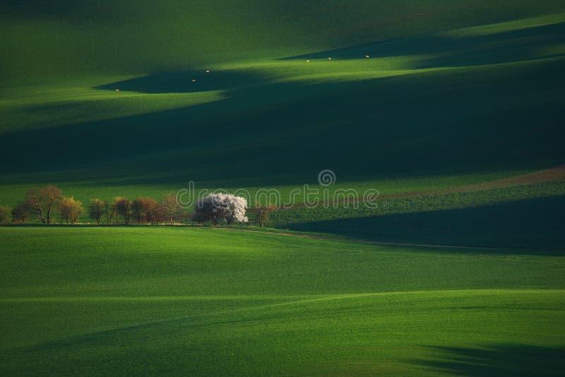 Grüner Frühlings-ländliche Landschaft mit blühendem weißem Apple-Baum und sechs Betrieb Roe Deer Europäische Landschaft mit weiße lizenzfreies stockfoto
