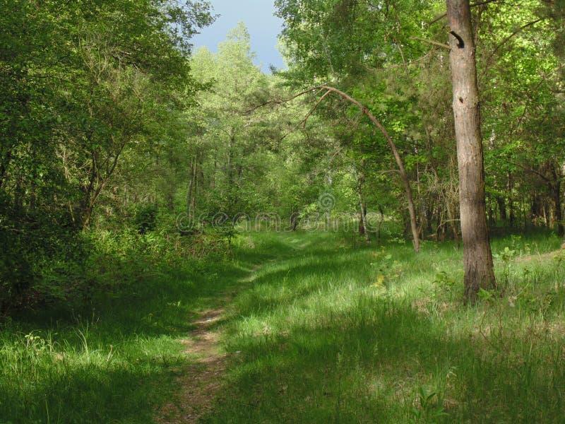 Grüner Frühlingswald in den Sonnenstrahlen lizenzfreie stockfotografie