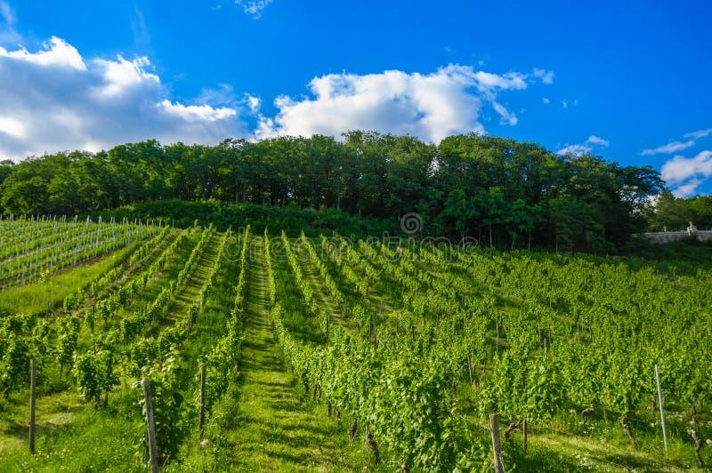 Grüner frischer Weinberg nahe Ruedesheim, Rheinland lizenzfreie stockfotos