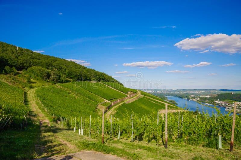 Grüner frischer Weinberg nahe Ruedesheim in Rheinland-Pfalz, Deutschland stockfotografie
