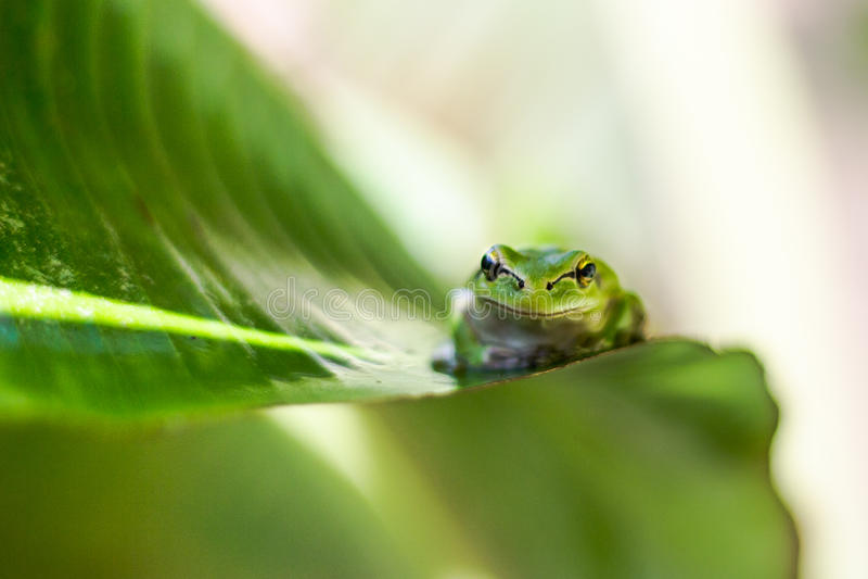 Grüner Frosch stockfoto