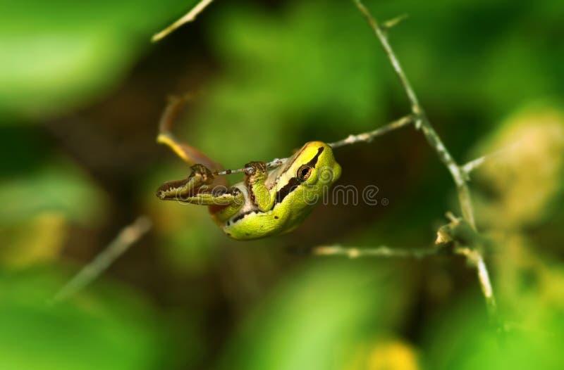 Download Grüner Frosch stockfoto. Bild von amphibie, frühling, wildnis - 9084092