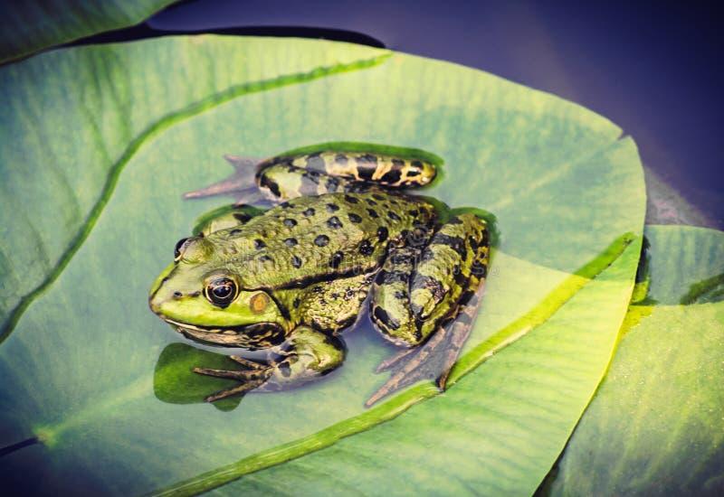 Grüner Frosch auf Blatt im Teich lizenzfreie stockbilder