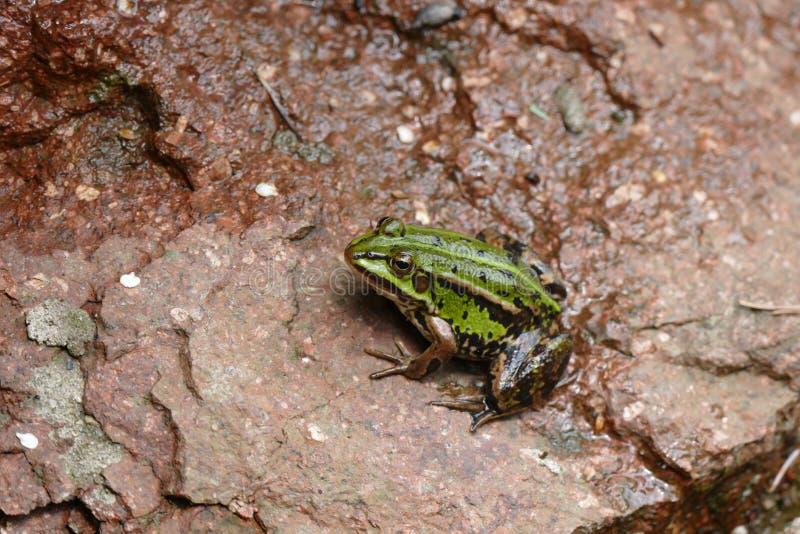 Grüner Frosch auf Felsen lizenzfreies stockfoto