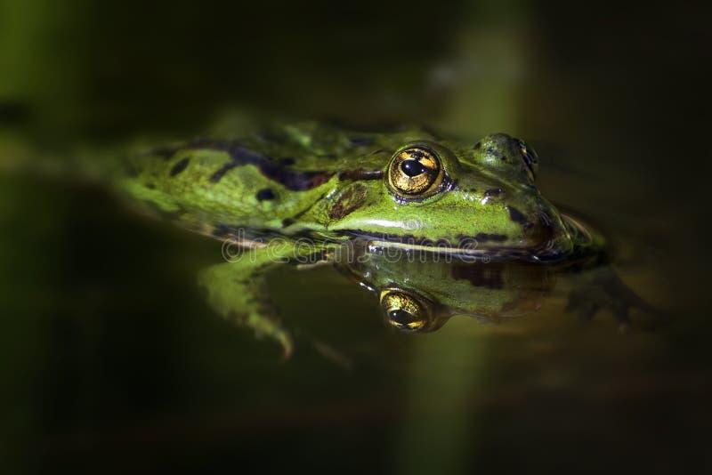 Grüner Frosch mit goldenen Augen u. x28; Pelophylax-esculentus& x29; herein schwimmen stockfoto
