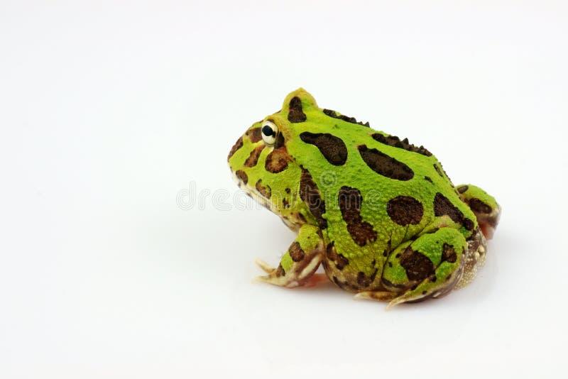 Grüner gehörnter Frosch lizenzfreie stockfotos