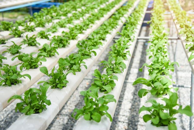 Grüner Gemüsegarten des Kopfsalatsalats, der auf Wasserkultursystembauernhofanlagen auf Wasser ohne Boden wächst stockbilder