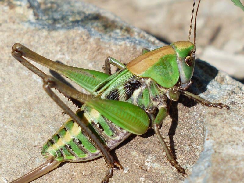 Grüner Grasshopper auf Braunstein lizenzfreie stockfotografie