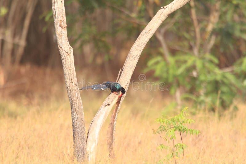 Grüner hölzerner Hoopoe in Ghana lizenzfreie stockfotos
