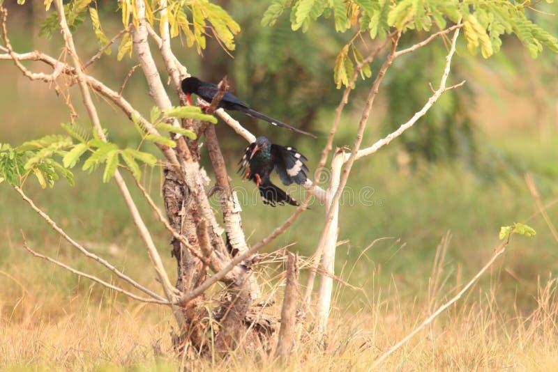 Grüner hölzerner Hoopoe in Ghana stockfoto