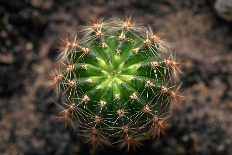 Grüner Hintergrund der Natur, Kaktusnahaufnahme oder Kakteen oder Kakteen, Draufsicht lizenzfreies stockfoto